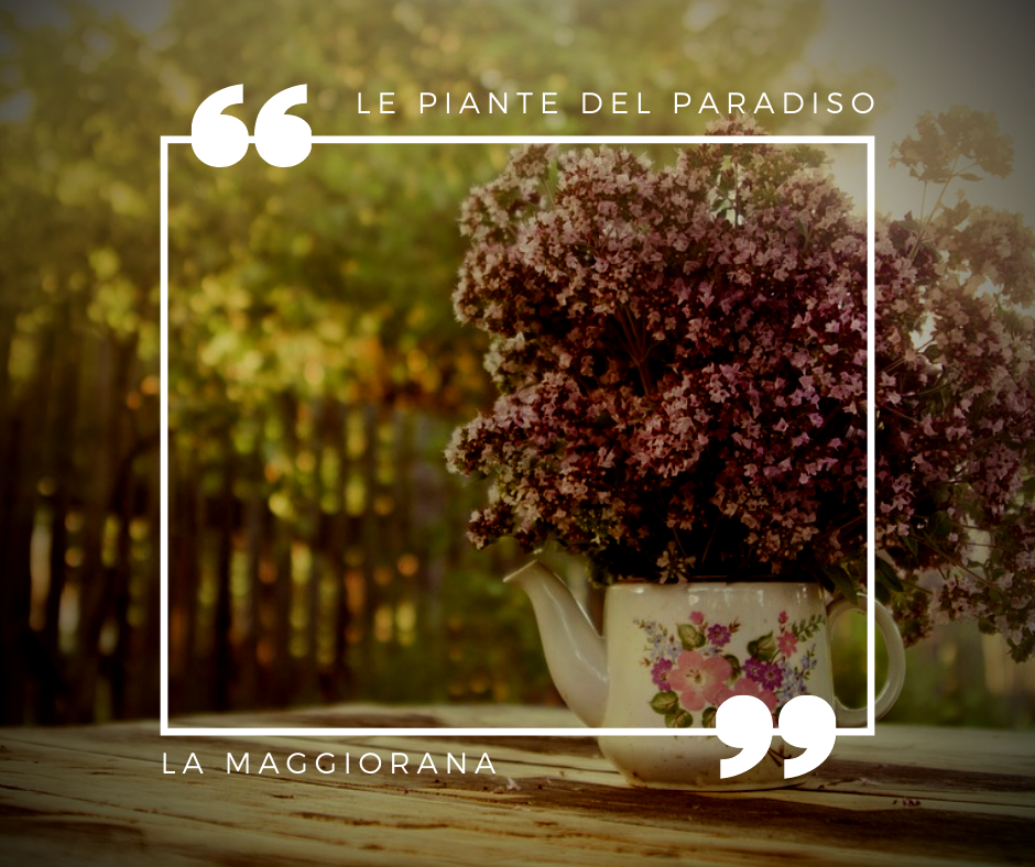Maggiorana Pianta in vaso di Maggiorana 3 Piante in vaso 7x7